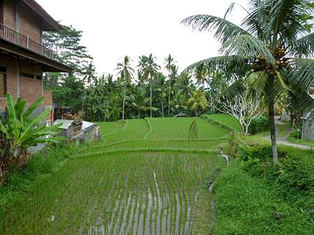 A rice field North of Peliatan, Bali.