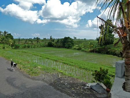 Beautiful rice fields and a dog on the road to Purah Tanah Lot, Bali.