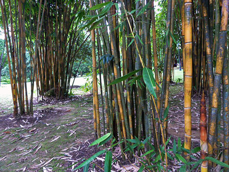 Some big bamboo in the Singapore Botanic Gardens.