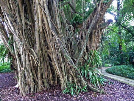 A tangled tree in the Singapore Botanic Gardens.