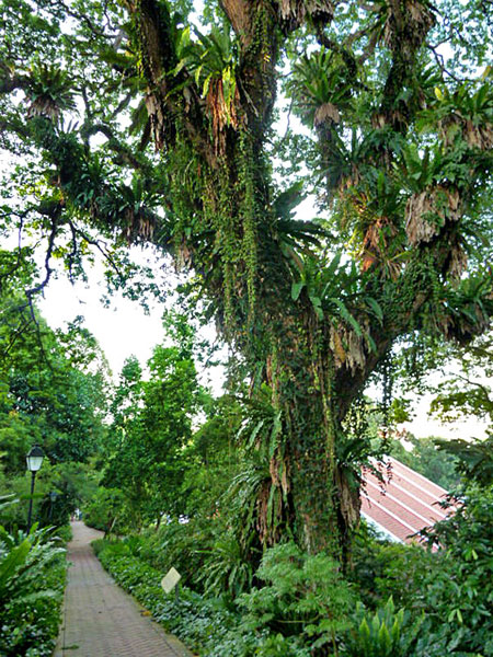 An amazing fern-covered tree in Fort Canning, Singapore.