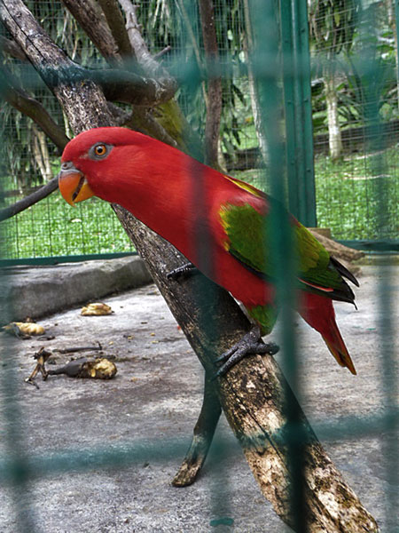 Big Red chewing gum, I mean bird at the KL Bird Park in Kuala Lumpur, Malaysia.