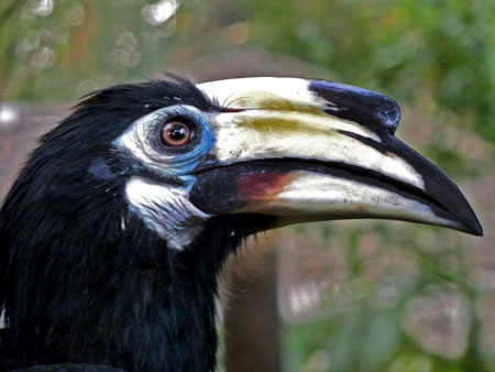 A hornbill gets the close-up stipulated in his contract at the KL Bird Park in Kuala Lumpur, Malaysia.