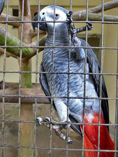 A Picasso-esque parrot hangs out at the KL Bird Park in Kuala Lumpur, Malaysia.