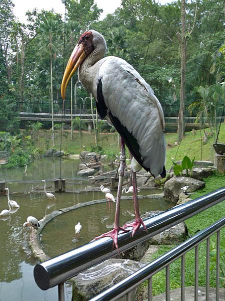 A local 50-50s a handrail at the KL Bird Park in Kuala Lumpur, Malaysia.