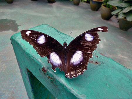 The elusive Black Butterfly of Doom captured by my lens at Taman Rama Rama in Kuala Lumpur, Malaysia.