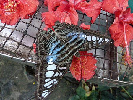 Another pretty black butterfly at Taman Rama Rama in Kuala Lumpur, Malaysia.