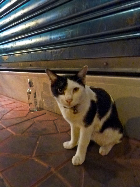 A poor little street kitty in Banglamphu, Bangkok, Thailand.