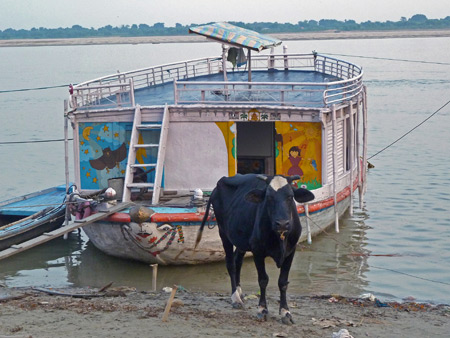 A cow and a colorful boat make quite a pair on the Ganges river in Varanasi, India.