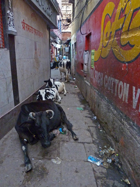 Aspects of rural and urban life intertwine in a back lane in Varanasi, India.