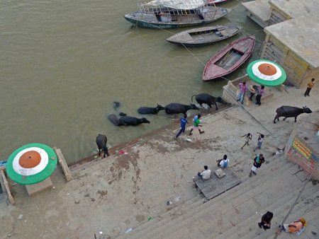 Some livestock bathes in the Ganges river in Varanasi, India.