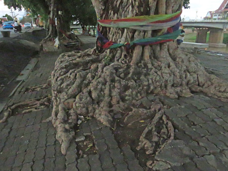 Some gnarly roots in Phitsanulok, Thailand.