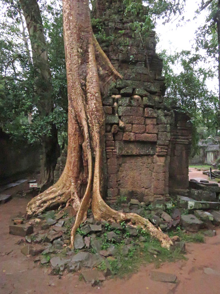 A tree attacks some ruins at Ta Prohm, Angkor in Siem Reap, Cambodia.