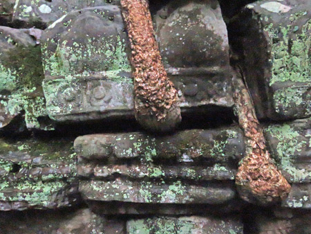 A close-up of roots attacking a stone wall at Ta Prohm, Angkor in Siem Reap, Cambodia.