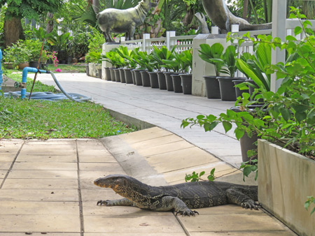 A monitor lizard roams free at the Dusit Zoo in Bangkok, Thailand.