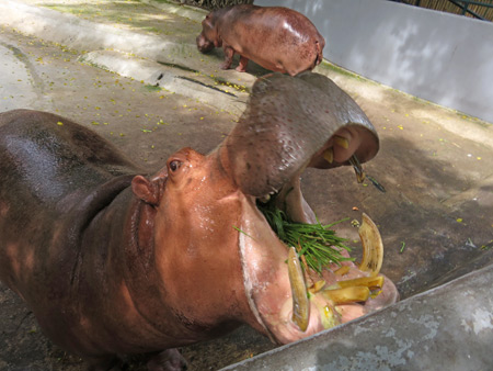 A hippo eats a mouthful of grass at the Dusit Zoo in Bangkok, Thailand.