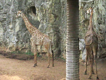 Two giraffes relax at the Dusit Zoo in Bangkok, Thailand.