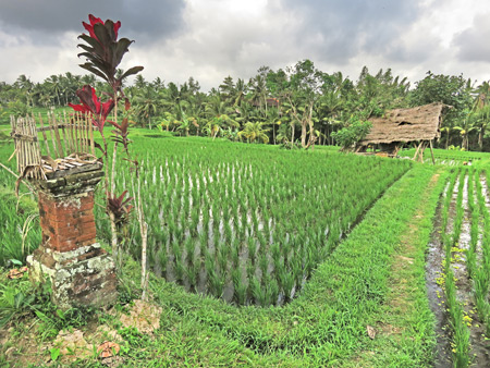 A Hindu shrine set up at the Subak Juwuk Manis rice field in Ubud, Bali, Indonesia.