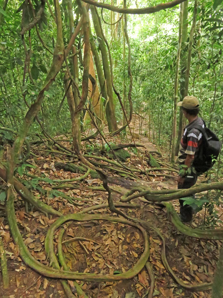 Spiraling vines in Bukit Lawang, Sumatra, Indonesia.