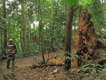 A fallen giant in Bukit Lawang, Sumatra, Indonesia.