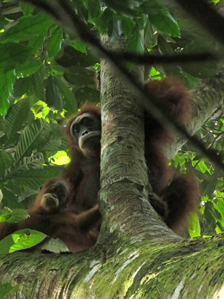 Orangutans in Bukit Lawang, Sumatra, Indonesia.