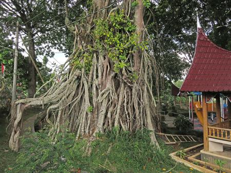 A gnarly tree in Taman Panorama in Bukittinggi, Sumatra, Indonesia.
