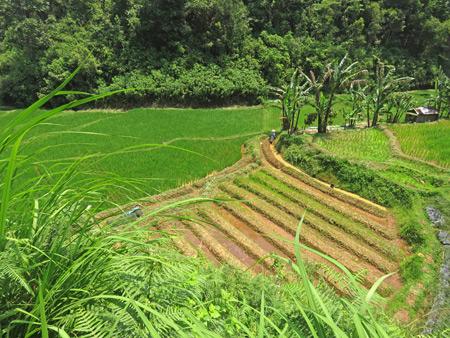 Rice fields near the Rafflesia flower north of Bukittinggi, Sumatra, Indonesia.