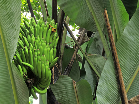 A banana tree in Baso village near Bukittinggi, Sumatra, Indonesia.