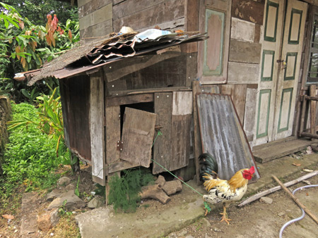 I'm sorry, but my rooster is all tied up at the moment in Rao Rao, near Bukittinggi, Sumatra, Indonesia.