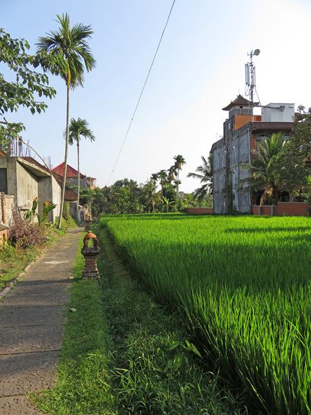 Another beautiful rice field aglow in Ubud, Bali, Indonesia.