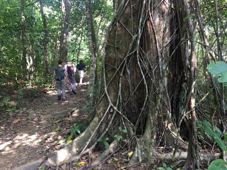 A vine-covered tree in Corcovado National Park on the Osa Peninsula, Costa Rica.