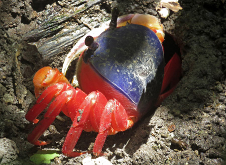 A colorful crab at Manuel Antonio National Park, Costa Rica.