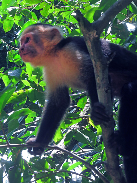 A white-headed capuchin monkey at Manuel Antonio National Park, Costa Rica.