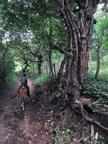 Passing a gnarly tree just outside Moyogalpa, Isla de Ometepe, Nicaragua.