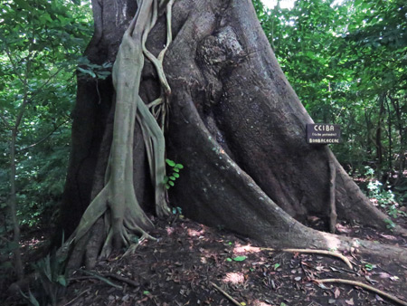 The base of the massive La Ceiba tree in Charco Verde, Isla de Ometepe, Nicaragua.