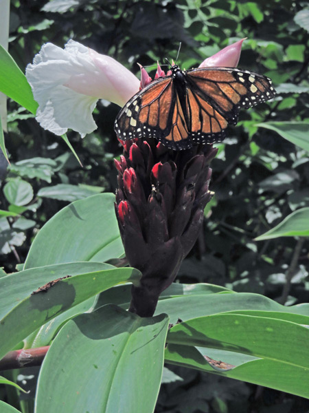 A butterfly at Butterfly Paradise in Charco Verde, Isla de Ometepe, Nicaragua.