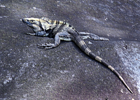 An iguana suns itself on a rock in Las Isletas de Granada, Nicaragua.