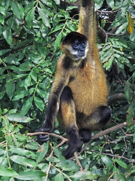 Monkey Island in Las Isletas de Granada, Nicaragua.