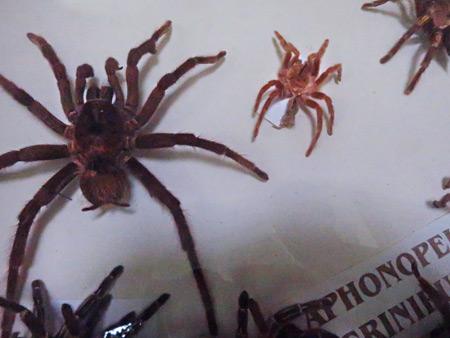 Big spiders at El Museo Entomológico de Leon, Nicaragua.