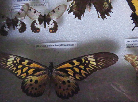 Butterflies at El Museo Entomológico de Leon, Nicaragua.