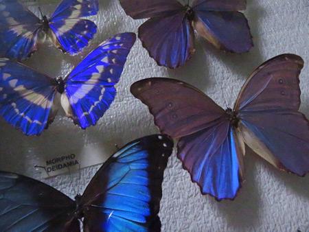 More butterflies at El Museo Entomológico de Leon, Nicaragua.