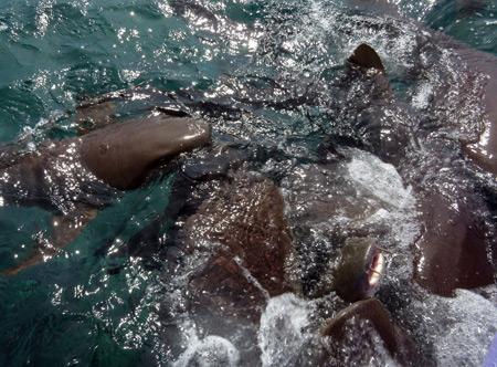 A nurse shark feeding frenzy near Caye Caulker, Belize.