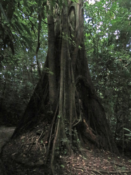 A huge tree in the jungle at the Palenque Ruins, Mexico.