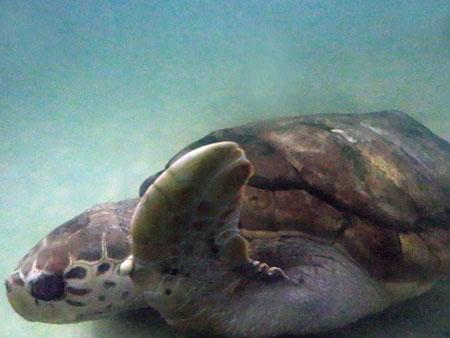 A loggerhead sea turtle at the Aquario Municipal in Mendoza, Argentina.