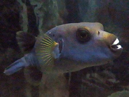 A toothy fish at the Aquario Municipal in Mendoza, Argentina.