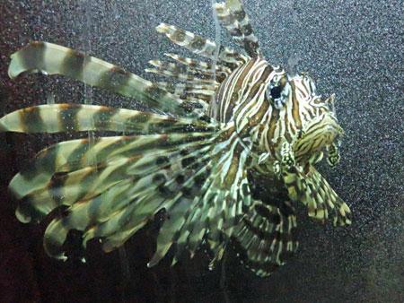 A psychedelic fish at the Aquario Municipal in Mendoza, Argentina.