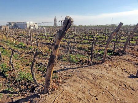 A vineyard at Mevi in Maipu, near Mendoza Argentina.