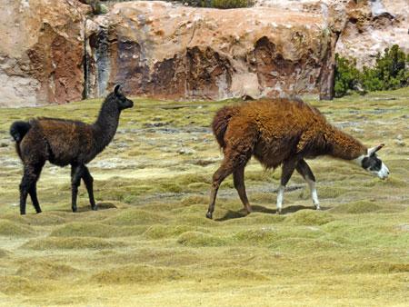 A couple of llamas graze near the beautiful Laguna Catal in the Reserva Nacional de Fauna Andina Eduardo Avaroa, Bolivia.