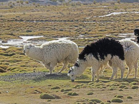 A llama sighting in Markuu Villa Mar, Bolivia.