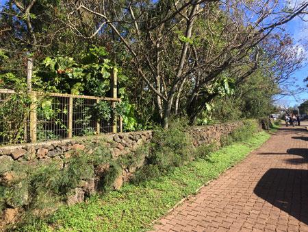 Bright greenery in Hanga Roa, Rapa Nui, Chile.